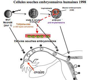 Cellules souches adultes et cellules souches embryonnaires