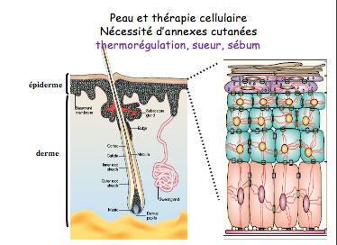 cellules souches peau