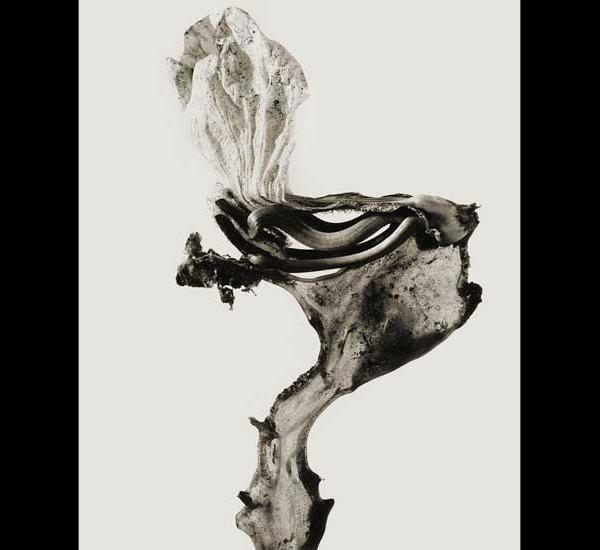 Guillumeta Polymorpha, 1984, de la série Herbarium de Joan Fontcuberta, © Joan Fontcuberta