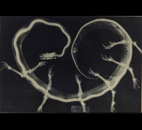 Radiographie de Solenoglypha Polipodia, de la série Fauna de Joan Fontcuberta et Pere Formiguera, 1985