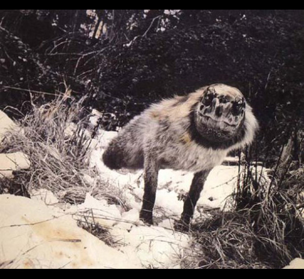 Alopex Stultus, de la série Fauna,1986